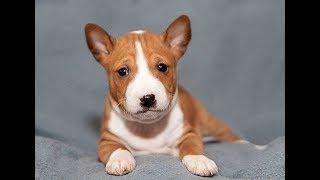 Собака Басенджи