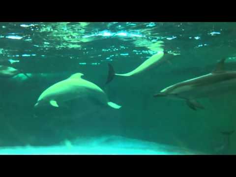 Taiji, Japan - Shoujo, the albino dolphin, seen from aquarium