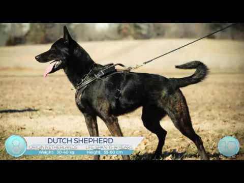 Top 10 Best Police Dog K9 Unit Breeds TAN?