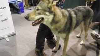 スイスのオオカミの保護団体 CHWOLFのブースに来ていたわんこ オオカミ...