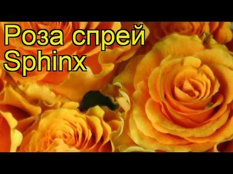 Роза спрей Сфинкс. Краткий обзор, описание характеристик, где купить саженцы Sphinx