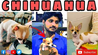 CHIHUAHUAS  Worlds most smallest dog | What problems do chihuahuas have ? | Contact  7275863266