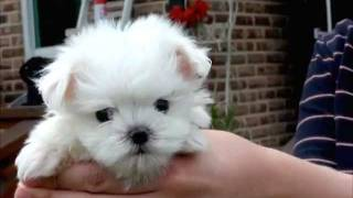 Jung-puppy Teacup Size Smallest Puppies Teacup Maltese