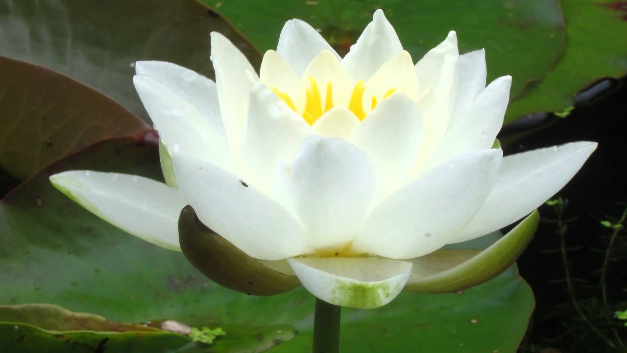 A day in the life of a water lily flower youtube a day in the life of a water lily flower dhlflorist Images