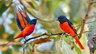 HD Audio Suara Burung Mantenan Gunung