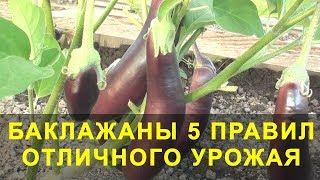 Баклажаны 5 Правил Отличного Урожая. Выращивание баклажан.