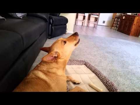 Ginger the Carolina Dog talking