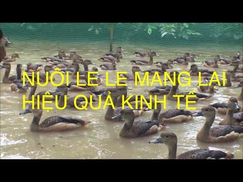 Mô Hình Nuôi Le Le Mang Lại Hiêu Quả Kinh Tế.