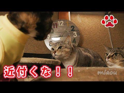 しぴ姉さん、、なんで?なんでや!!子猫らな【瀬戸のらな日記】Chipie   why?why ?are you angry? Cute kitten Lana