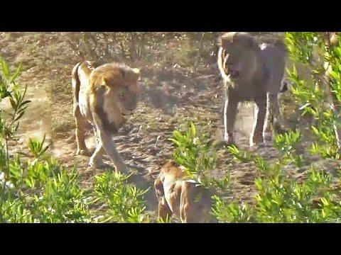 Lion Pride Take-Over