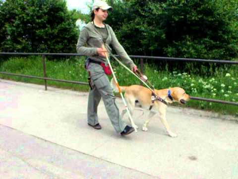 Watch Dogs 2 Trainer >> Max, guide dog in training, Bulgarian Guide Dogs For The Blind School - YouTube