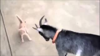 Котенок и коза смешные животные Прикол юмор ржака смешное видео =