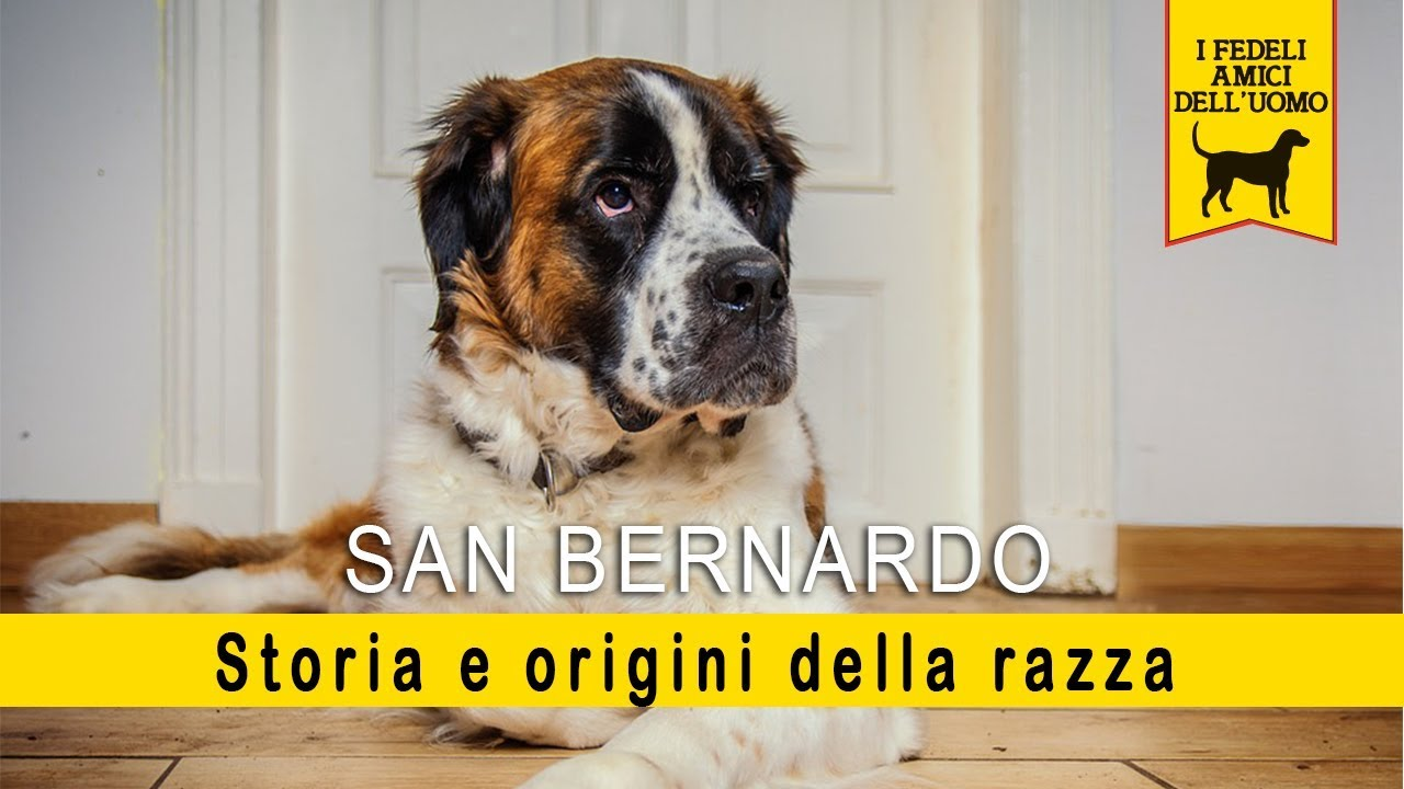 San Bernardo - Storia e origine della razza