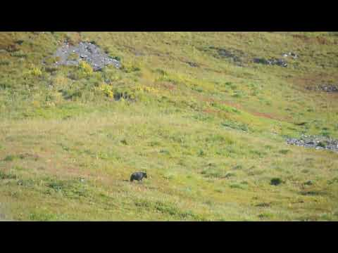 Black bear in the northern Bailey Range, Olympic Mountains.