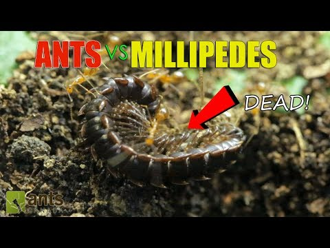 ANTS vs GIANT MILLIPEDES