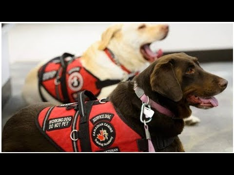 Plan to give service dogs to PTSD veterans rocked by federal agency's decision to pull out | CBC ...