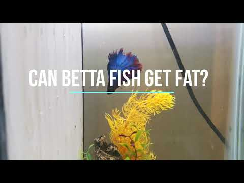 Can Betta Fish Get Fat?
