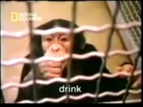 Washoe Lenguaje y emociones en chimpancés   YouTube