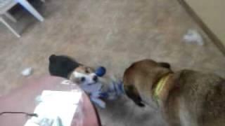 English Mastiff  Vs Welsh Corgi Tug Of War
