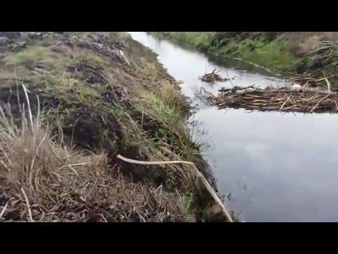 Охота на бобра с заподно-сибирскими лайками