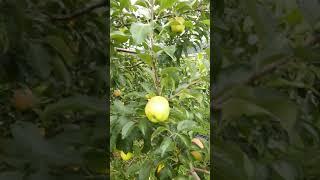 홍옥사과~