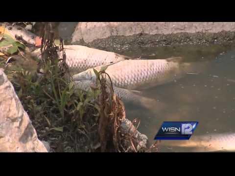 Dead carp washing up in Horicon Marsh