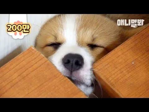 한창 잘때만 천사인 나이.. ㅣ  TFW When Corgi Doggo Needs An Eccentric Sleep