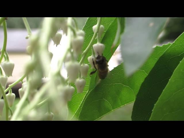 Honeybee on Sourwood Tree
