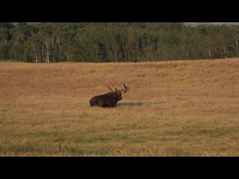 Alberta 2020 Archery Moose Hunt