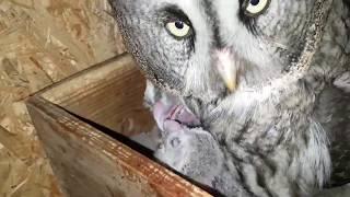 Кормление совят бородатой неясыти. Great Grey Owl feeds owlets.