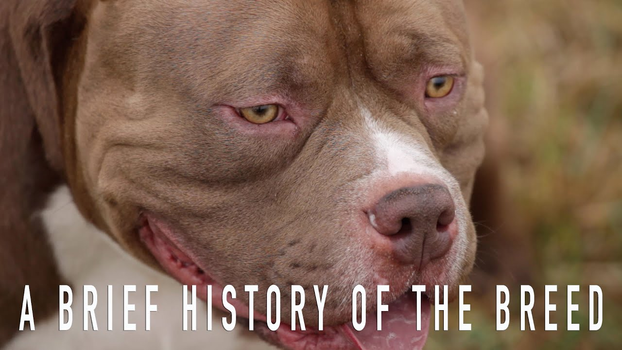 AMERICAN BULLY: A BRIEF HISTORY OF THE BREED