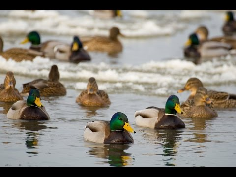 Breaking Ice Mallards and Snow Geese