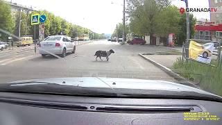 Стая собак в Магнитогорске удивила водителей соблюдением ПДД