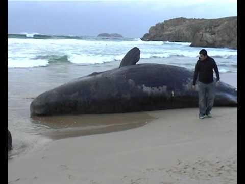 Resultado de imagen de cachalote varado