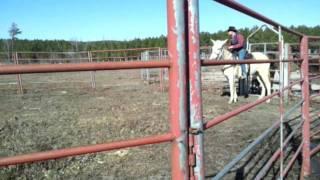 Steven McElroy breaking a Mule to ride - Part 1