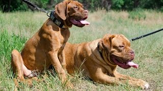 French Mastiff And Other Canines Wearing Vintage Walking Dog Collar