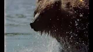 В мире животных. Отрывок про Камчатку. 1995 г