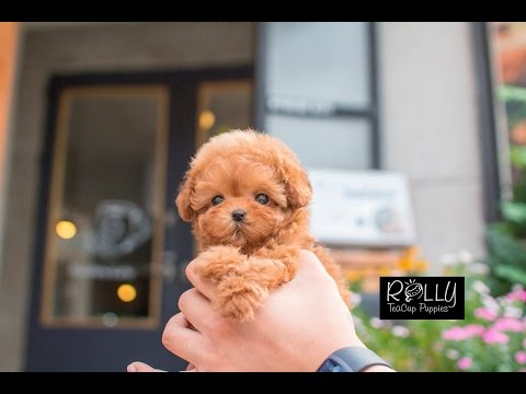 Live Teddybear?! Amazing Poodle 'Teddy' - Rolly Teacup Puppies