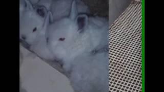 Bül bülə kroll ən bahali dovşanlar bu ünvanda