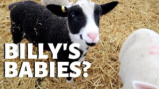 i-love-these-lambs-will-billy-have-more-vlog-225