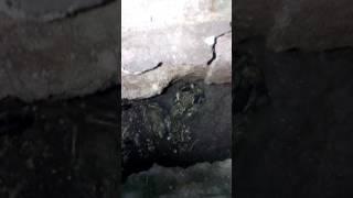 Живые лягушки зимой.(1)