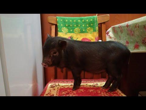 Вопрос: До каких размеров вырастают мини-пиги?