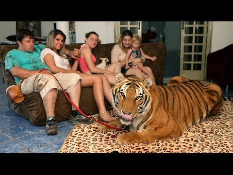 Living With Tigers: Family Share Home With Pet Tigers