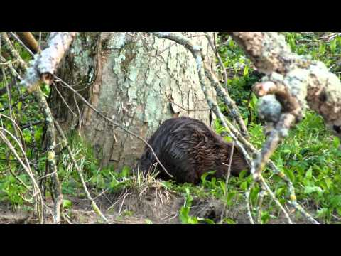 Foraging Beaver - Perthshire
