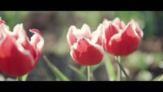 Tulpes vasarnīcā 2018 | Tulips in summer cottage 2018