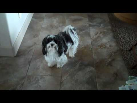 Havanese Dog Getting the Paper for Dad...