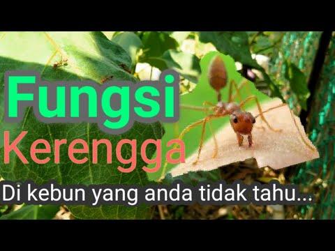 Fungsi Semut Kerengga Yang Ramai Orang Tidak Tahu.