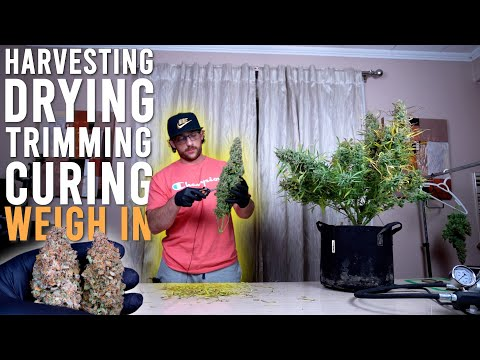 HOW TO HARVEST AUTOFLOWERS EASILY: DRYING TRIMMING CURING AND WEIGH IN RESULTS FROM 430 WATTS. EP5
