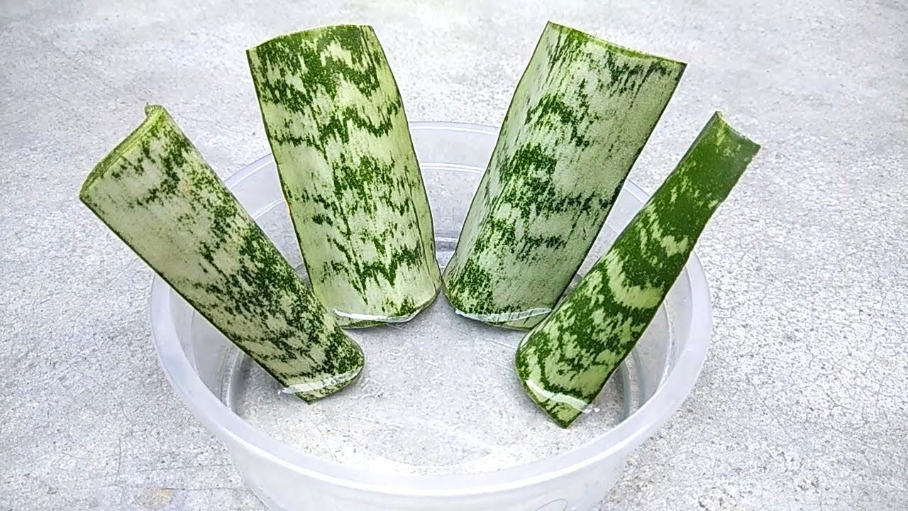 Grow Snake Plant From Single Leaf Grow From Cuttings Grow In