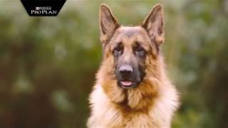 Корма Pro Plan (Про План) для атлетических собак